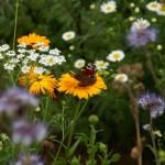Het gonst van de vlinders op de spiraalakkers